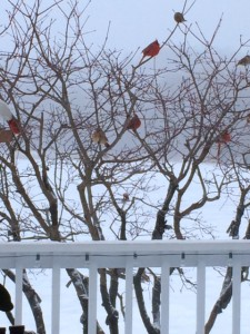 Cardinals at feeder